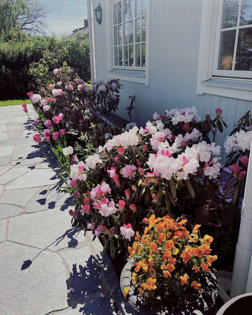 En gangsti av bruddheller av Offerdalskifer langs en husvegg  med et frodig tulipanbed langs hele husveggen